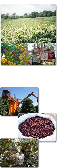 コーヒー豆の栽培と収穫